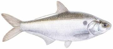 Gizzard Shad Catfish Tips