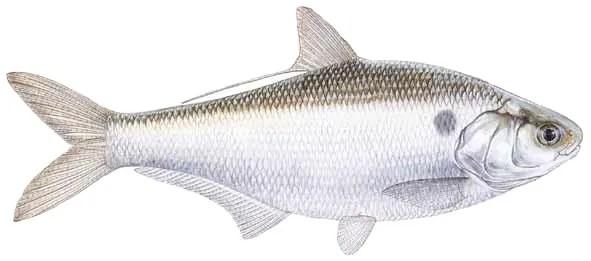 Gizzard Shad Catfish Bait