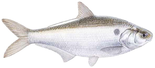 Gizzard Shad Catfish Bait