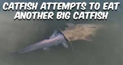 Flathead Catfish Eats Blue Catfish