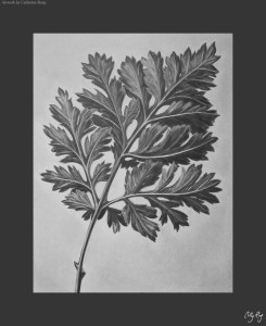 Drawing I class project - Blossfeldt leaf in white charcoal.