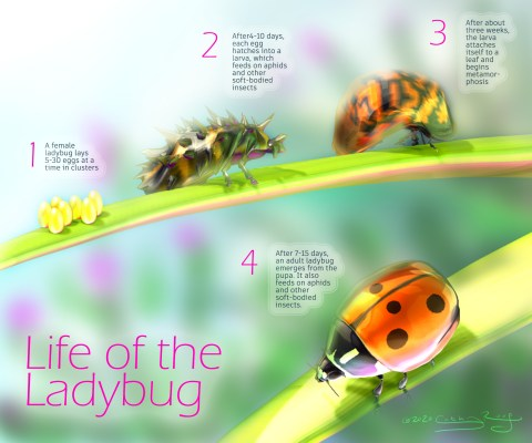 Rough mockup of a poster about the lifecycle of ladybugs.