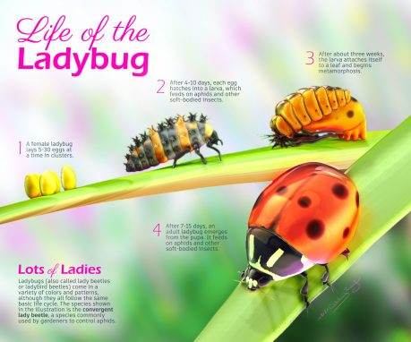 Poster about the life cycle of ladybugs.