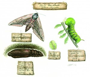 Lifecycle of the Privet Hawk Moth w/c