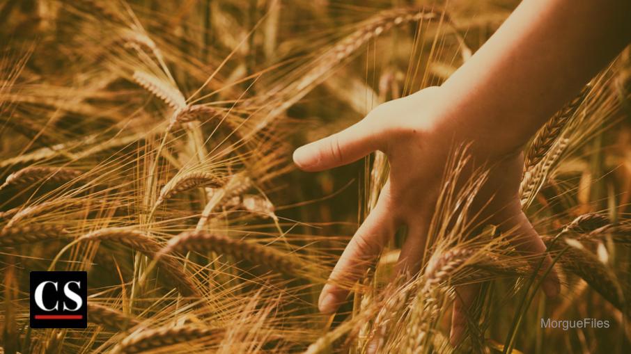 MorgueFiles - grain of wheat