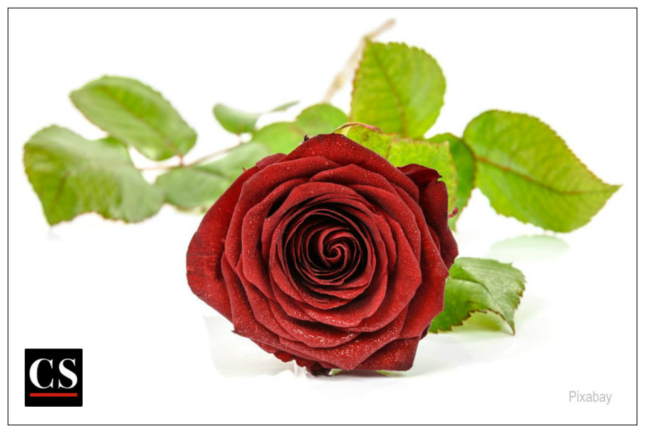 miracle, rose