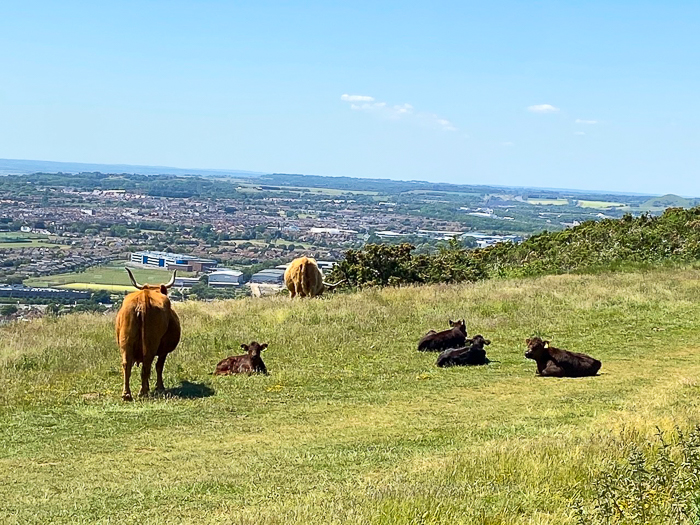 Highland cattle on a hill in Folkestone