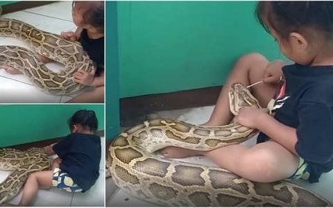 menina de 3 anos brinca com uma gigantesca piton de 45 metros e video viraliza assista