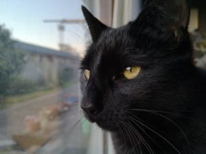 Elegant black cat looking out a window