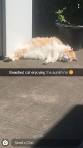 "Very fluffy large cat lays in the sun outside. A caption reads ""Beached cat enjoying the sunshine"""