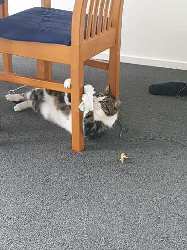 cat lying under a chair playing with the chairs legs