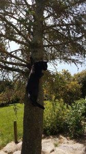 Black cat climbs a tree