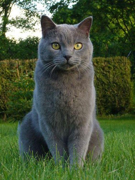 Chatauxcat Different Grey Cat Breeds