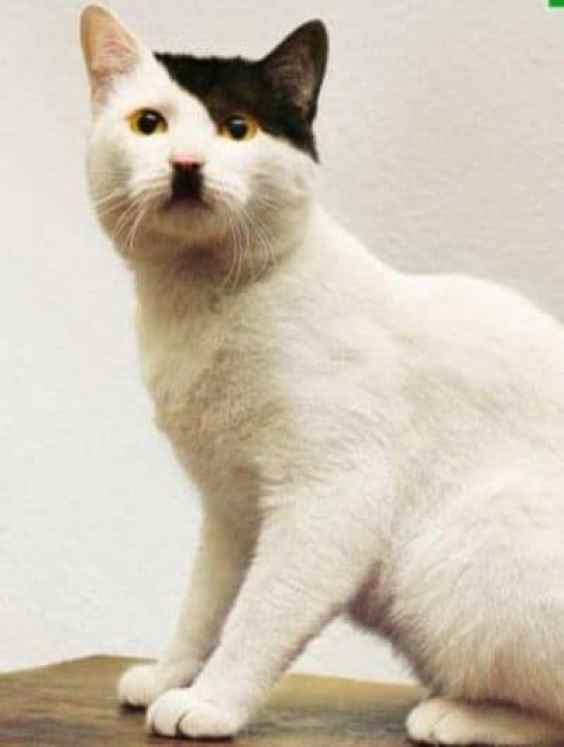 JN Hitler Cat Cats that Look like Hitler