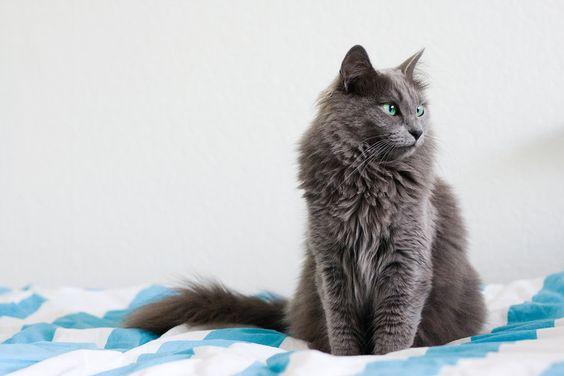 Nebulang cat Different Grey Cat Breeds