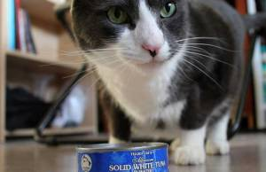 can-cats-eat-canned-tuna