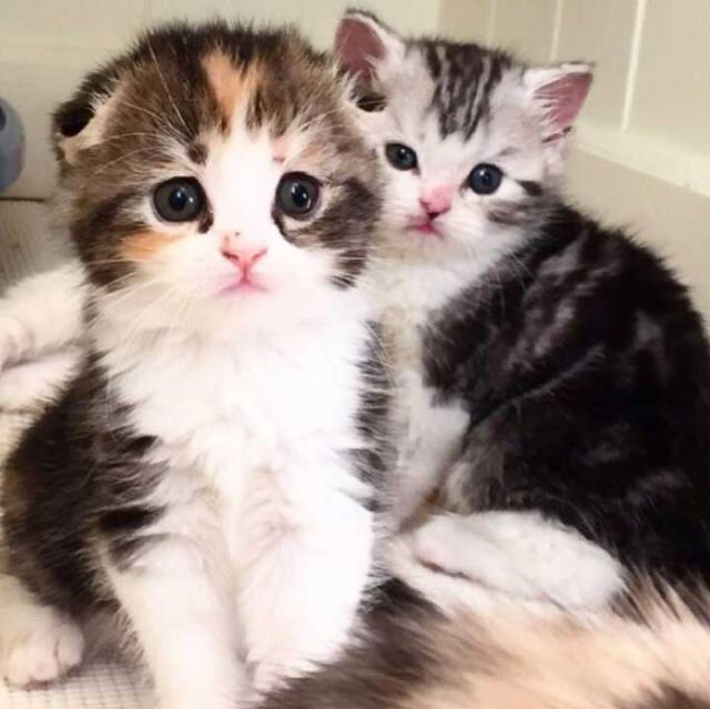 folded ear cat Cuddly Cats With Folded Ear Cat Breeds