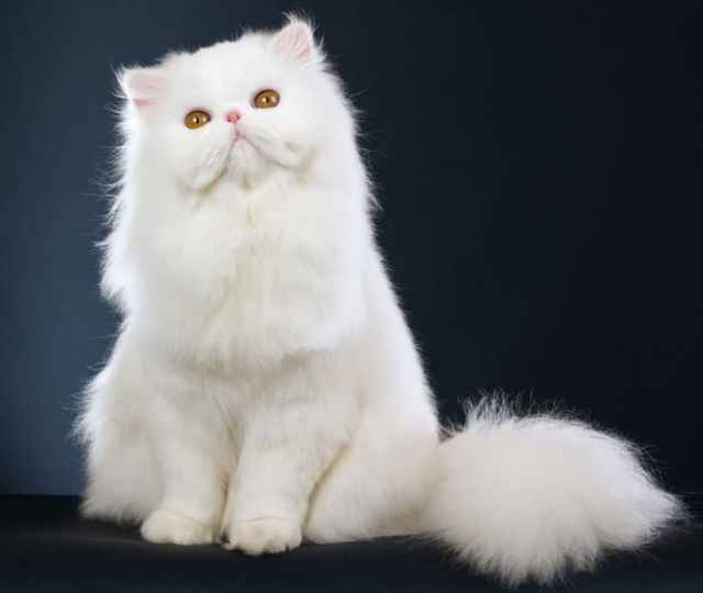 furry cats Top Furry Cats Breeds and their Personalities