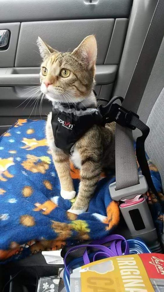 travel withcat How to Travel with Cat in Car?