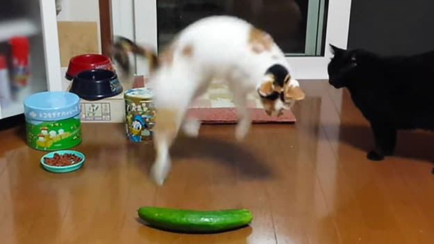 cat and cucumber1 Why Are Cats Afraid Of Green Cucumber?