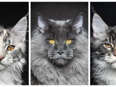 maine coon cats f CAT BREEDS