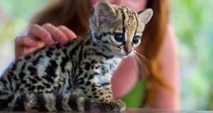 ocelot cats