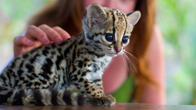 ocelot cats The Exotic Jungle Looks and Wild Ocelot cat