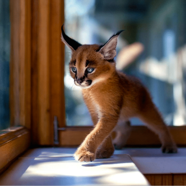 JN cutest caracal02 13 Facts about The Cutest Species  Caracal Cat