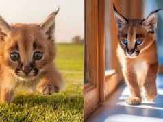 wild cat breeds caracals cat Cats In Care Homepage   Random