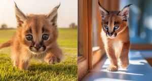wild-cat-breeds-caracals-cat