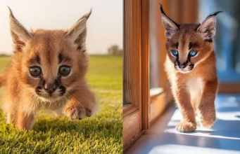 wild-cat-breeds-caracals-cat