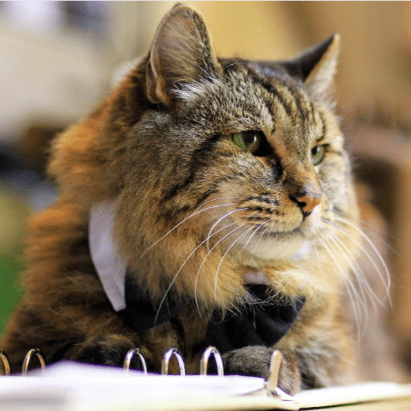 JN Conduroy16 Corduroy, The Oldest Living Domestic Cat In The Worlds