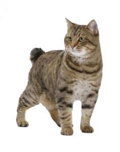 American Bobtail 238x300 Cat Breeds List