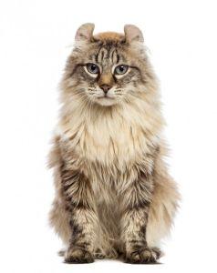 Amrican curl 238x300 Cat Breeds List