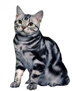 Amricanshorthair 238x300 Cat Breeds List