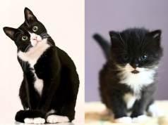 JN Tuxedocat FI CAT BREEDS