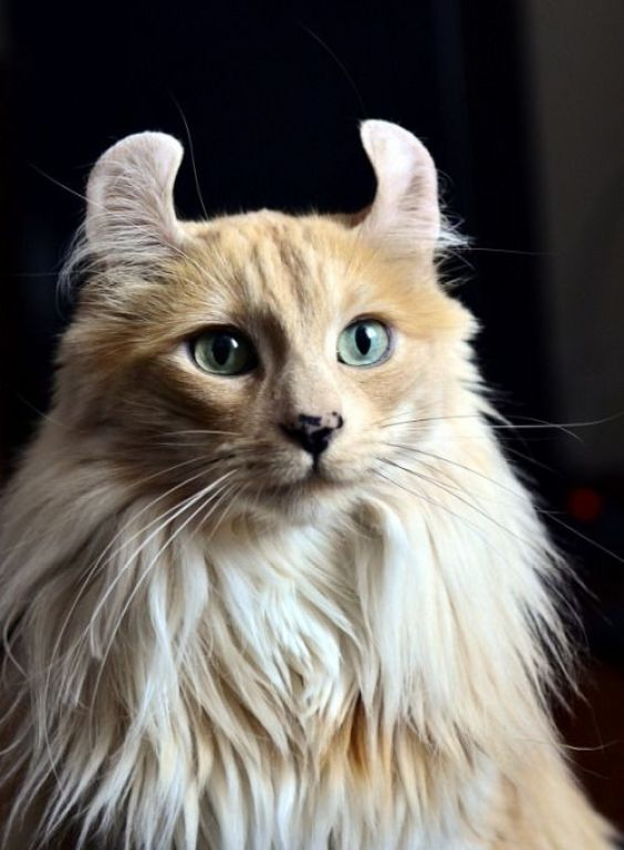 American Curl Cat Breeds Cats In Care