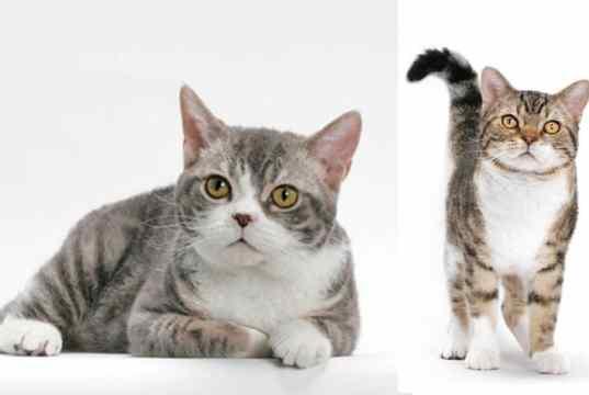 FB Americanwirehair3 CAT BREEDS