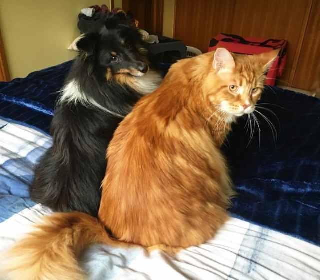 omar maincoon5 1030x902 Meet the Instagram Sensation Omar, The World Longest Cat