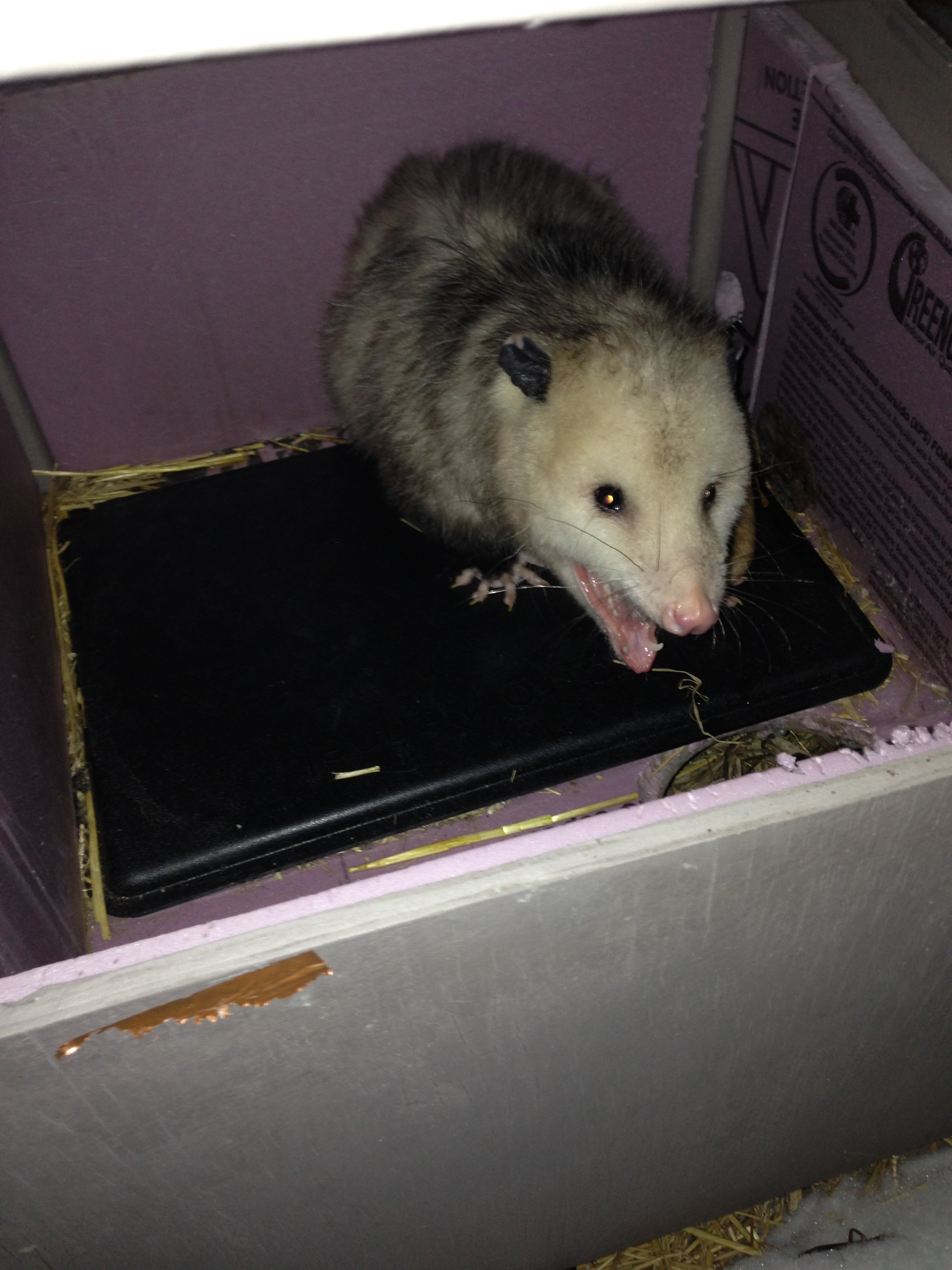 the feral villa is now a possum villa cats in my yard