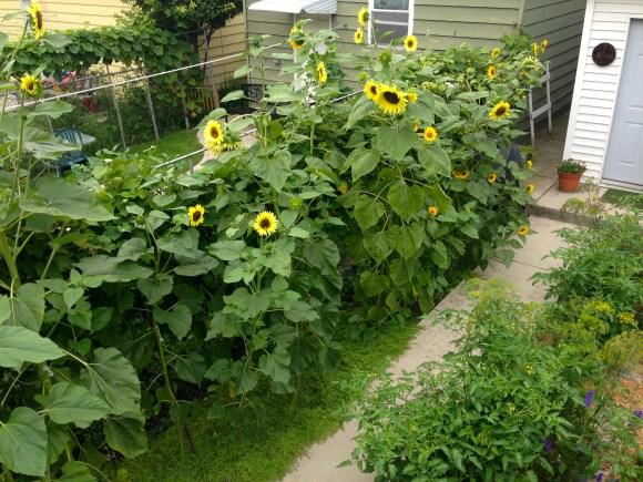 Sunflowers - lemon yellow