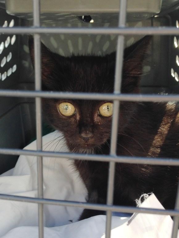 Chicago TNR foster kitten, Trey