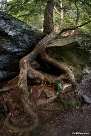 Devils Kitchen Tree