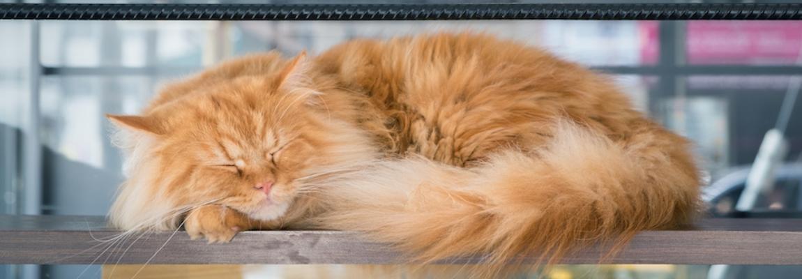 Brown Siberian cat sleeping on wood stair in cat cafe