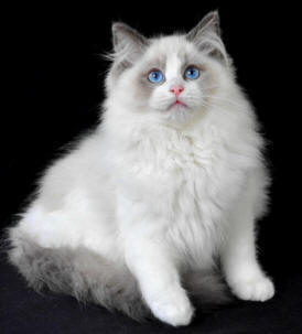 https://i1.wp.com/www.catsofaustralia.com/images/Ragdoll-Cat-Breed-rd.jpg