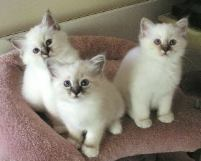 Cat Breed Photos - Pictures of Different Breeds of Cats and Kittens