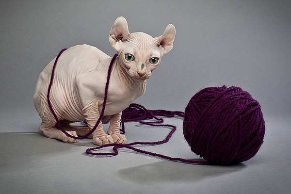 A hairless cat with a ball of string yarn.
