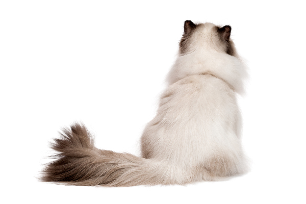 A fluffy cat from behind.