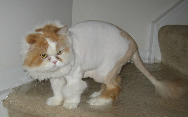 Image result for Do Cats Like to Be Shaved?