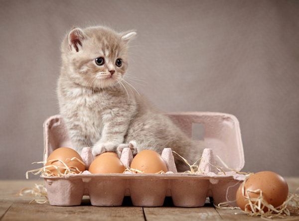 A fuzzy gray kitten sitting in a carton of eggs.